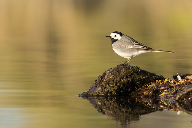 Bergeronnette grise. White Wagtail., Canon EOS 5D MARK III, Canon EF 300mm f/4L IS