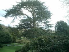 Lebanese Cedar