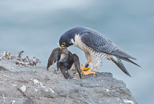 Peregrine and starling