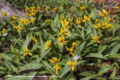 Trout Lily Patch