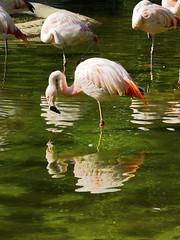 Memphis Zoo 08-31-2016 - Lesser Flamingo 2