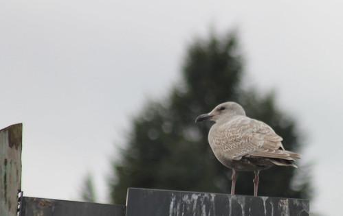 birdsofwashington bird washingtonbirds gull glaucouswingedgull larusglaucescens seagull