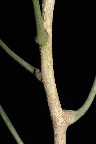 Dysoxylum latifolium DSC_0552 (7)
