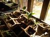 """""""Black Beauty"""" Zucchini seedlings..."""