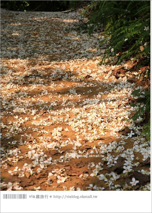 【彰化油桐花】福田桐花生態園區~雪白花毯!每年都會想再回訪的賞桐景點10