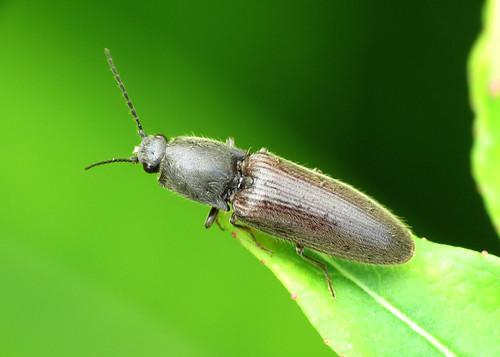Click Beetle - Athous haemorrhoidalis