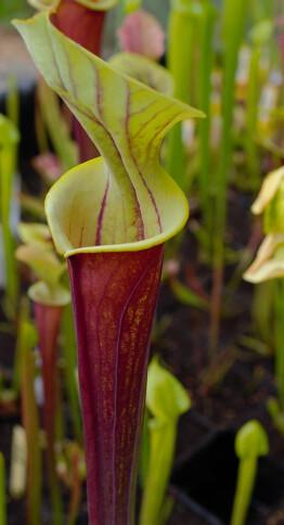 Photo Plantes--carnivors ( Sarracenia ) 14006449445_bc5a768e2d