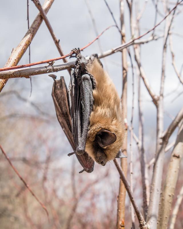 little brown bat (?)