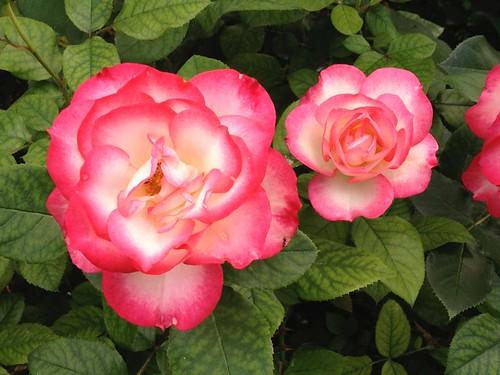 Rosier floribunda