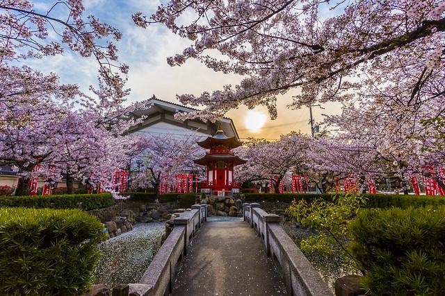 Sakura at Shitennō-ji (四天王寺) in Osaka
