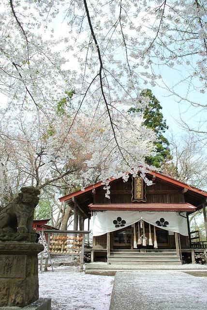 弘前さくらまつり 大鰐 festival of cherry blossoms at Hirosaki 2014年5月1日