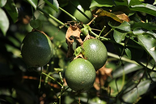 tanzania passiflora matema lakemalawi passionfruit maracuja eastafrica mbeya tukuyu lakenyasa passionsfrucht kyela malawisee matunda