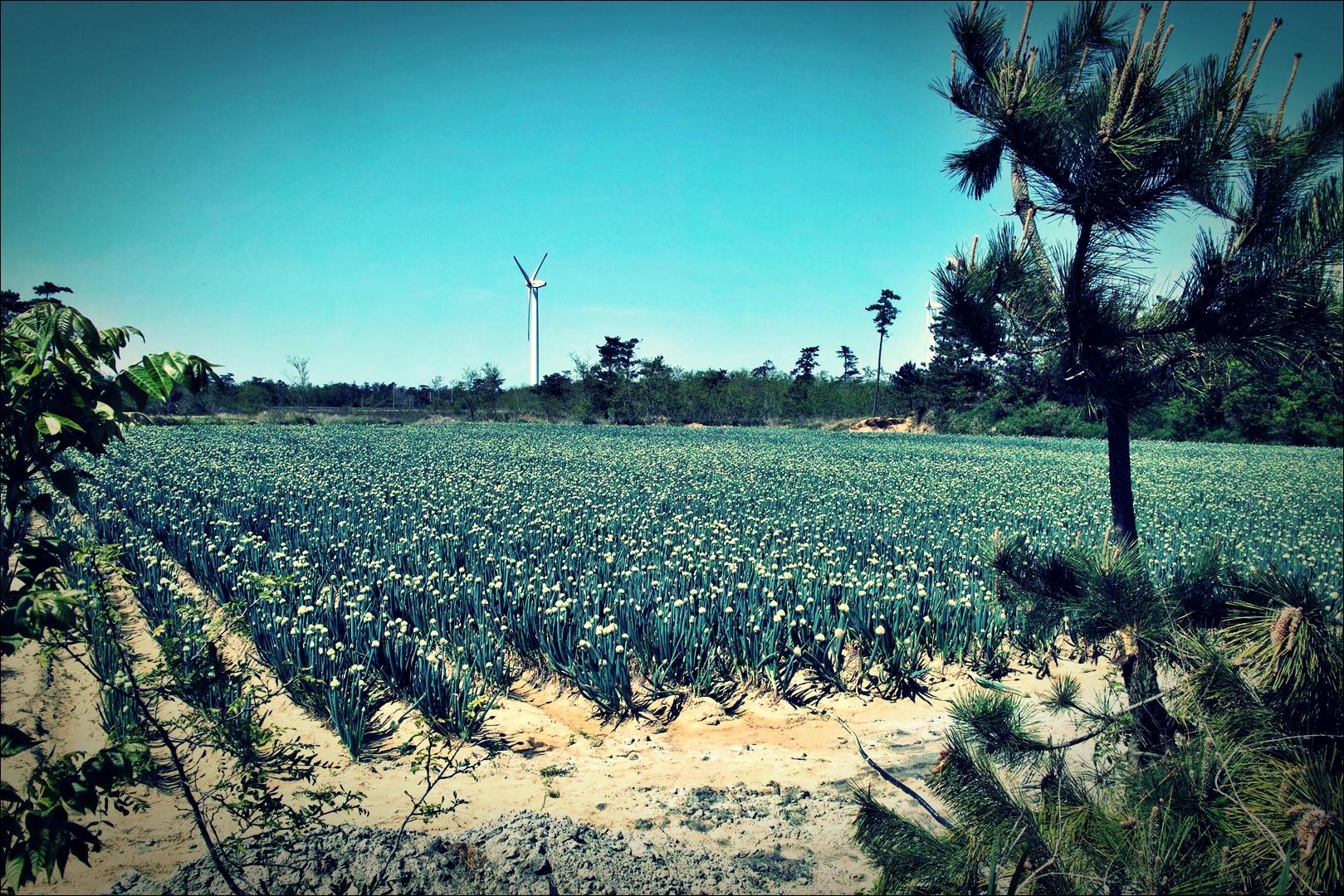 파 꽃-'비금도 Bigum Island Shinan'