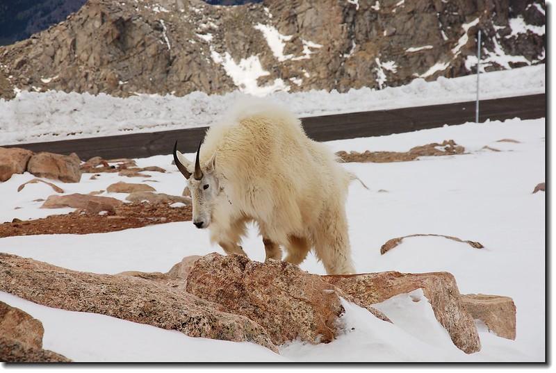 Mountain goats 5