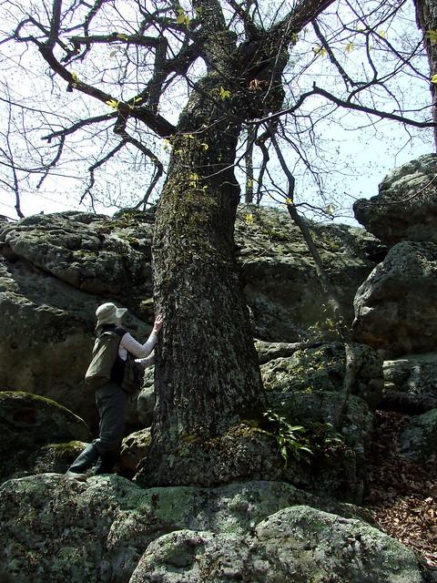 big rock oak