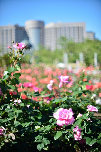 The rose in Tsuruma park@Nagoya city No.1.