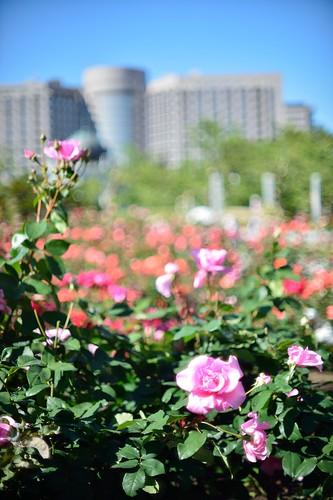 The rose in Tsuruma park@Nagoya city No.1.