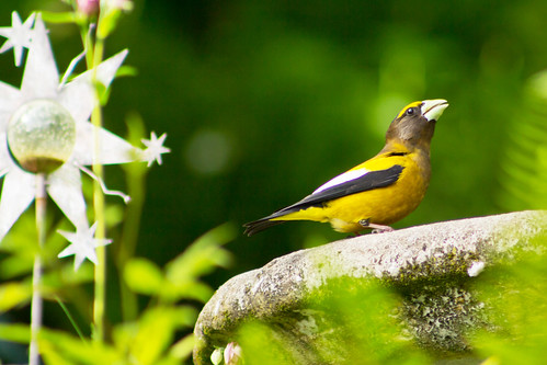 nature birdbath birdwatcher coccothraustesvespertinus eveninggrosbeak
