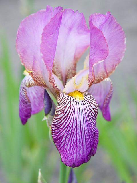 purple iris. Lviv botanic garden. Ukraine