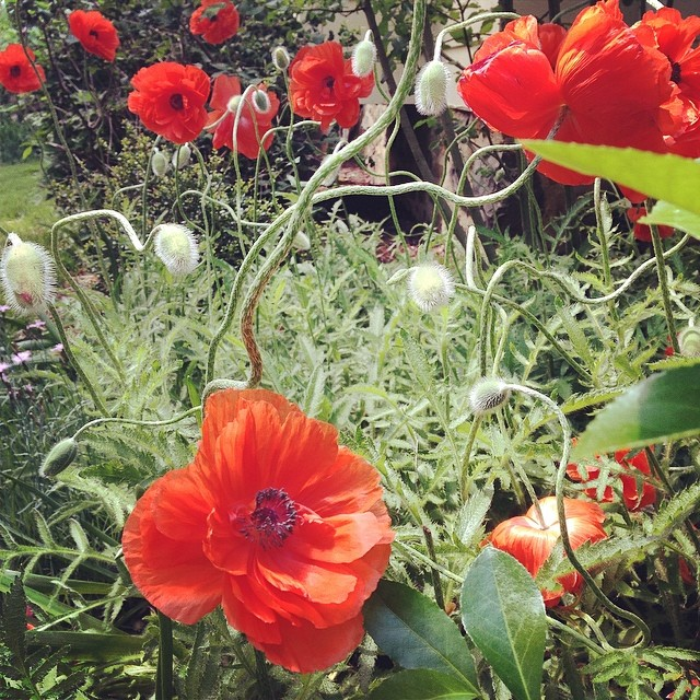red poppies blooming