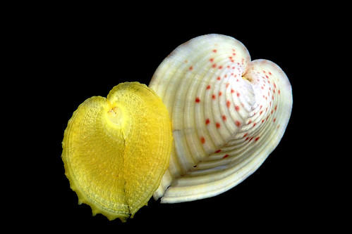 Corculum cardissa - (Linnaeus, 1758)  14225916733_1bd9dcf44b