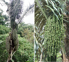 Arenga pinnata, the Sugar Palm