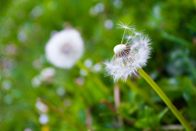 Dandelion seeds, half gone with the wind