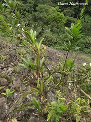 Pedregal con Trigonidium insigne floreciendo in situ, Valle del Cauca, Colombia