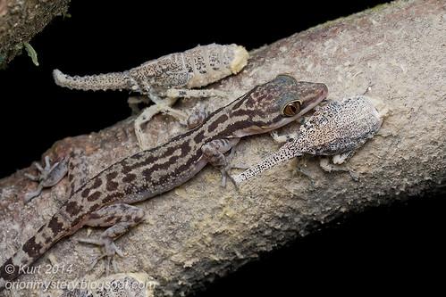 Gecko & Fulgorid Trophobiosis IMG_6487 copy (2)