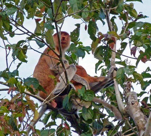 Mono narigudo (proboscis) en el río Kinabatangan (Borneo)