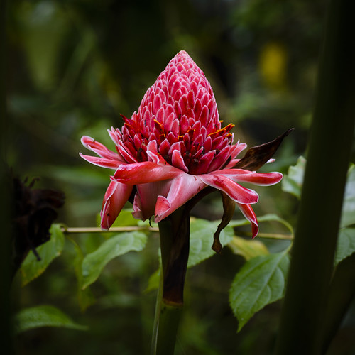 Red Frilly Torch Ginger (Etlingera elatior). Kipandi Butterfly Park.
