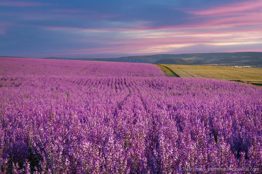 lavender, Crimea, лаванда, Крым