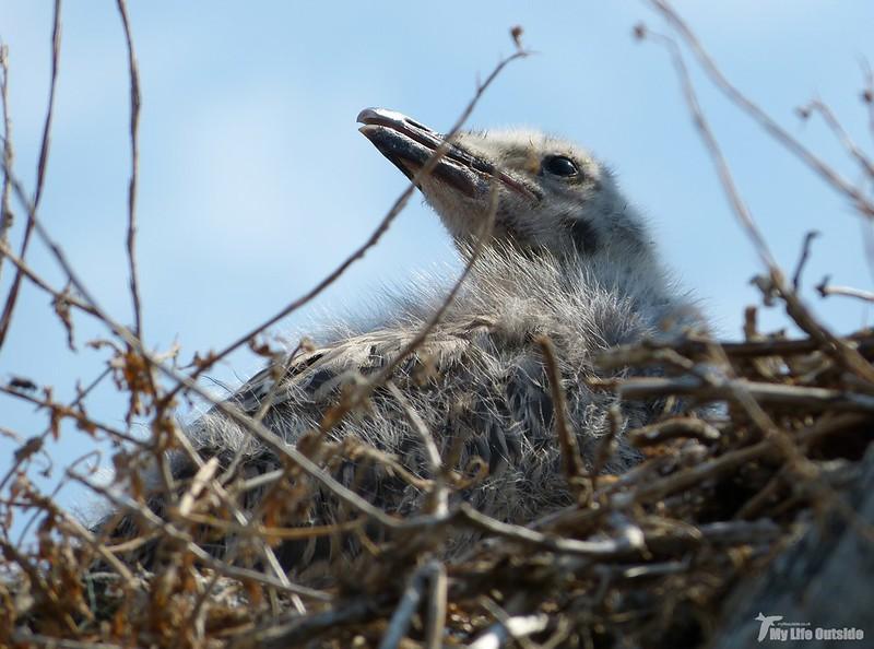 P1070914 - Juvenile Herring Gulls, Conwy