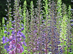 shrub(0.0), english lavender(0.0), common sage(0.0), hyssopus(1.0), annual plant(1.0), flower(1.0), plant(1.0), lavender(1.0), wildflower(1.0),