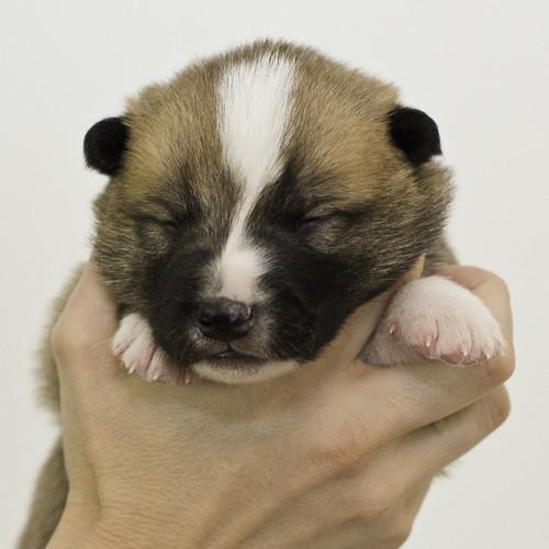 Anya-Litter1-10Days-Puppy3(Male)a
