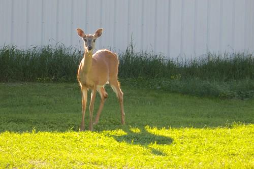 pet deer