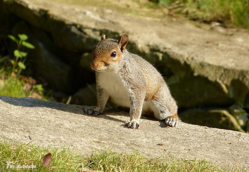 P1070955 - Squirrel, Conwy Valley
