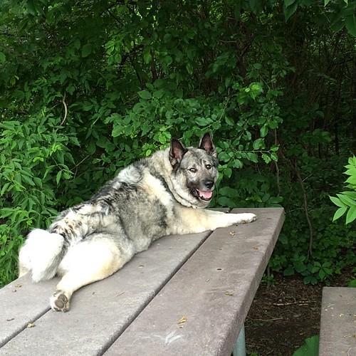 Ellie #supermodel #dogpark #norwegianelkhound