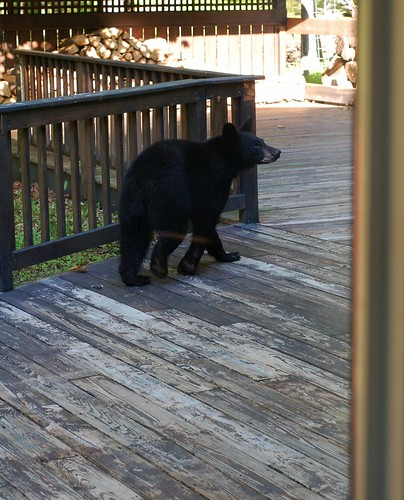 Black bear on our deck by Eve Fox, the Garden of Eating copyright 2014