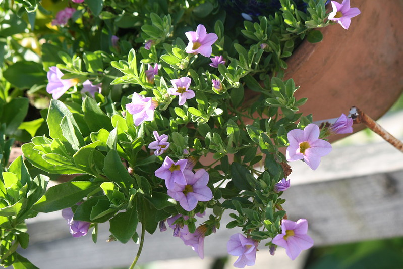 trailing from flower box