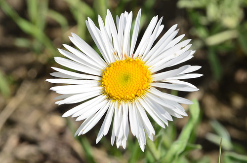 <p><i>Erigeron caespitosus</i>, Asteraceae<br /> Ferry Point Landing, Alberta, Canada<br /> Nikon D5100, 105 mm f/2.8<br /> June 22, 2014</p>