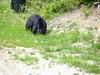 American black bear (Ursus americanus) sighting from Wizard Express, Whistler, British Columbia, Canada