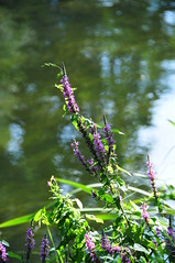 Flowers over the Stour
