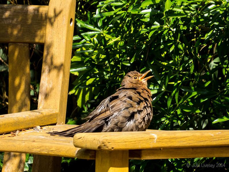 Young Blackbird in the garden