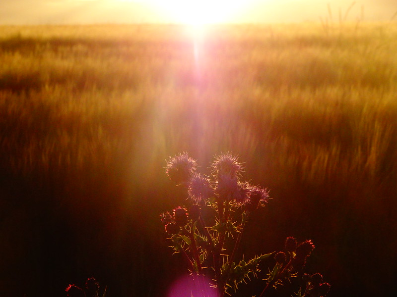 Thistle/Sunset 2