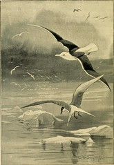 """Image from page 7 of """"British sea birds .."""" (1896)"""