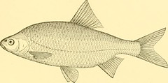 "Image from page 452 of ""American fishes; a popular treatise upon the game and food fishes of North America, with especial reference to habits and methods of capture"" (1888)"