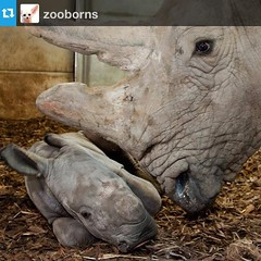 Rhino calf a surprise for Burger's Zoo. #rhino #cute #animals #zooborns #Repost from @zooborns
