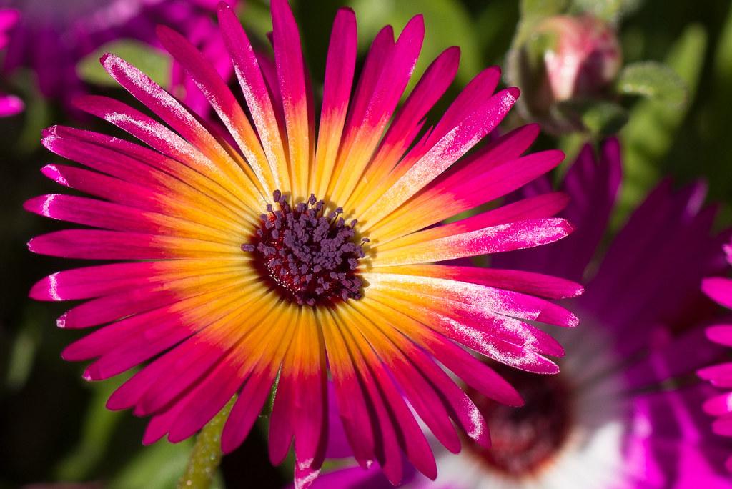 Flower Macro Icelandic @ Akureyri Botanical Gardens
