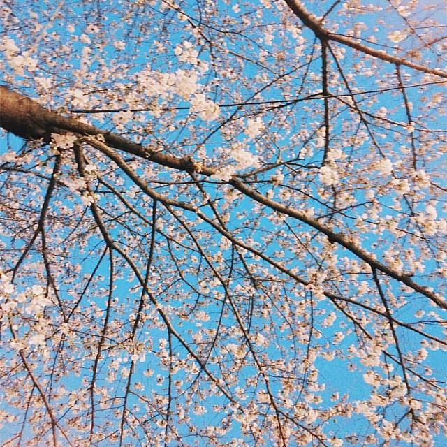 #팝콘 #땡기는 #벗꽃 #나무
